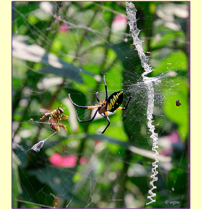 <Image by Wolf Peter Weber showing a Bee caught in the web of a Golden Garden Spider>