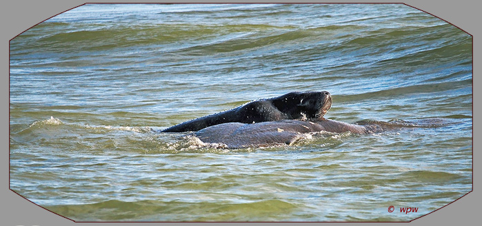<Photo by Wolf P. Weber of a manatee calve piggy backing on a  mother cow in open water>