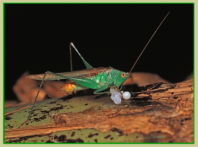 <Photograph by © Wolf Peter Weber of a Gladiator Meadow Katydid (Orchelimum gladiator) feasting on butterfly eggs.>
