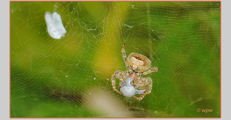 <Image by © Wolf P. Weber of a Tropical Tent-web Spider preparing a Sri Lankan weevil in a silk wrap>